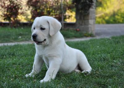 Labrador Piacentini - cuccioli labrador retriever