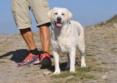Labrador Piacentini - miglior allevamento labrador
