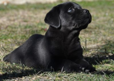 cuccioli labrador neri