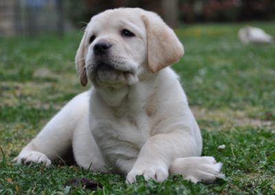 Labrador Piacentini - Labrador retriever cucciolo