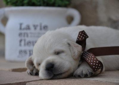 Labrador Piacentini - cucciolo labrador giallo