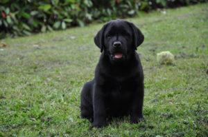 cuccioli labrador nero