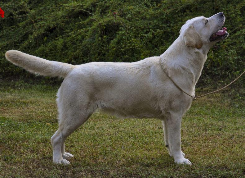 Allevamento Labrador Piacentini